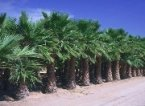 A row of young California Fan Palms