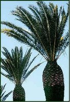 Canary Island Date Palm with pruned fronds