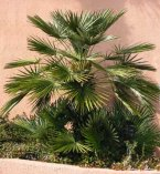 Beautiful Mediterranean Fan Palm speciment