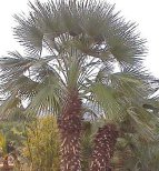Large multistemmed Mediterranean (European) Fan Palm picture