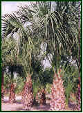 Cluster of Sabal Palms