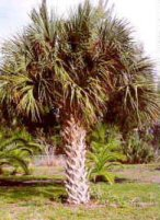 Picture of Sabal Palm with robust fronds