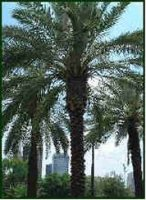 Date Palm Tree with well pruned crown