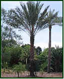 Picture of young Date Palm - Phoenix dactylifera