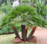 Cold Hardy Mediterranean Fan Palm picture