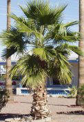 Mexican Fan palm picture