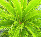 Sago Palm picture