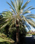 Date Palm picture