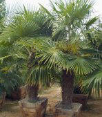 Windmill Palms picture