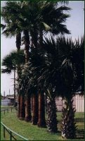 California Fan Palms landscaping a highway