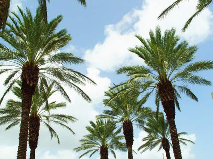 Picture of True Date Palm also reffered to a Date Palm. The genus name is Phoenix dactylifera