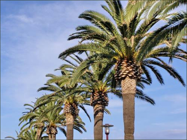 Canary Island Date Palms Imposing and Massive