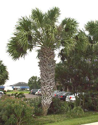 Texas Sabal Palm looking stately and robustly