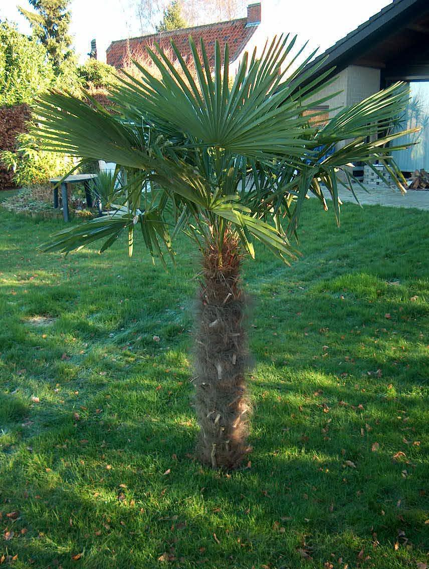 Windmill Palm Tree which is one of the cold hardiest Palms
