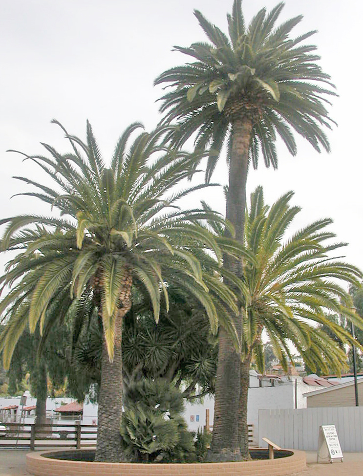 California Fan Palm Trees in Natural Grove