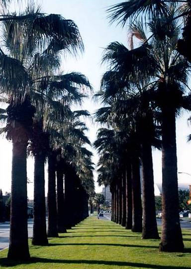 Row of California Palm Trees lining a street