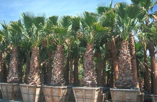 California Palm trees in nursery crates