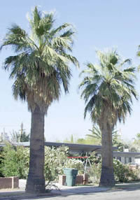 Two California Fan Palms with hanging Fronds