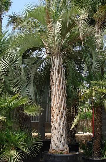 Pindo Palm Tree Picture