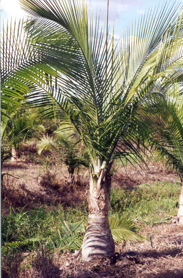 3 closely grouped Queen Palms showing their dark glossy green fronds