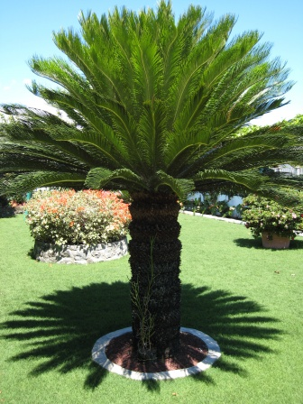 Picture of Sago Palm