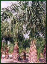 Texas Sabal Palm Trees  Pictures and Photos