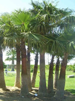 Cluster of Windmill Palms