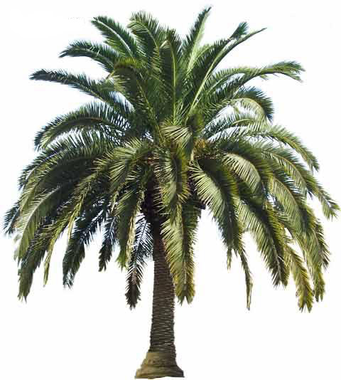 Large Canary Island Date Palm Tree