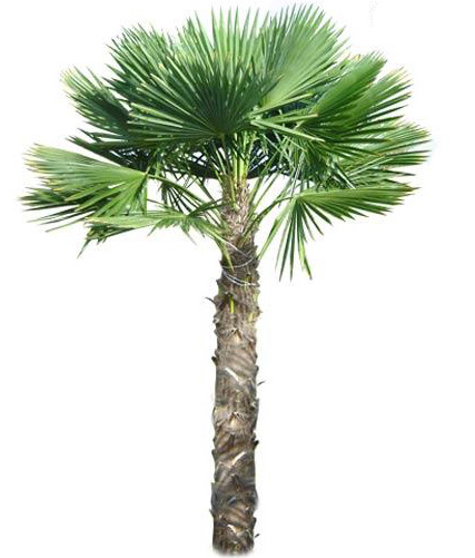 Windmill Palm for Sale